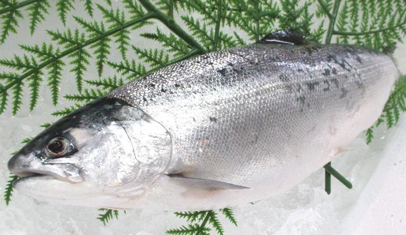 江戸前銀鮭は5月上旬が食べごろ